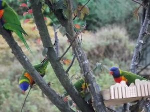 Rainbow Lorikeets in the Bongers's front yard.