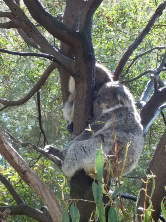 These guys haven't lost it. (Healesville Sanctuary)