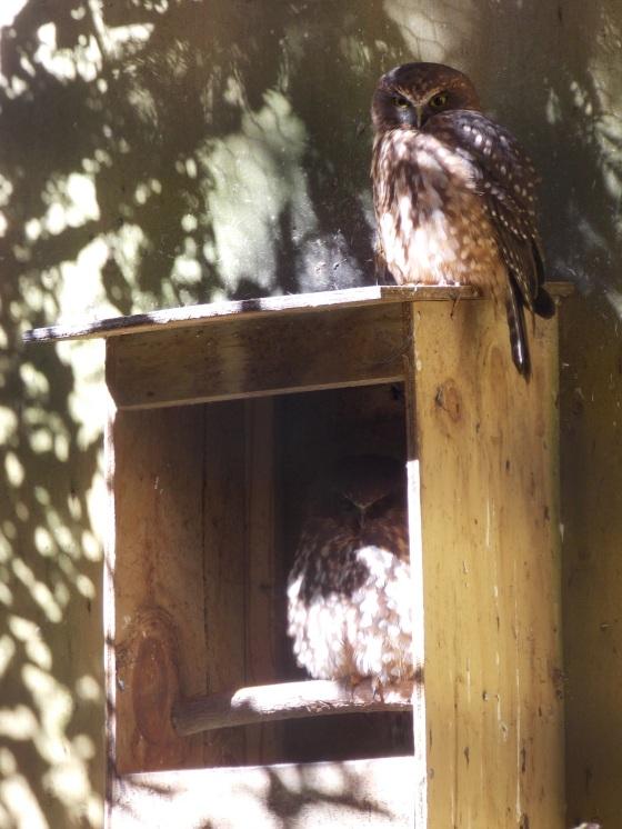 Morepork owls.