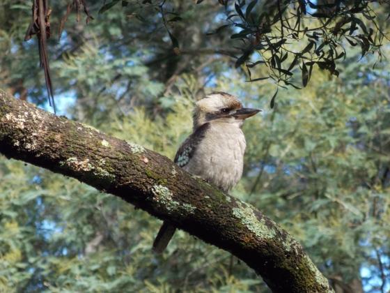 My first kookaburra.