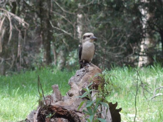 Kookaburras don't always sit in old gum trees.