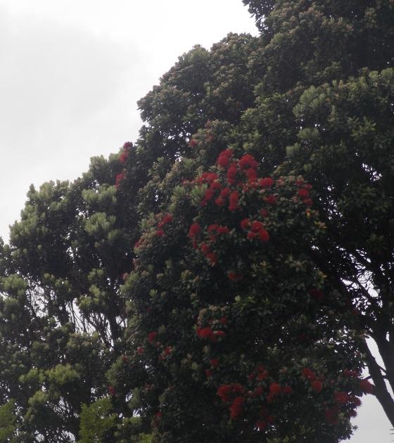 "The ""New Zealand Christmas tree,"" a puhutukawa."