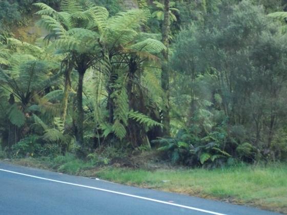 Tree ferns in Taranacki, New Zealand.