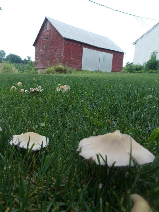 Fungi in the yard.