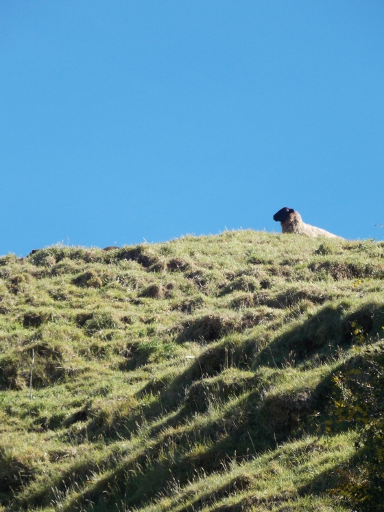 Steep hills topped with sheep. New Zealand.