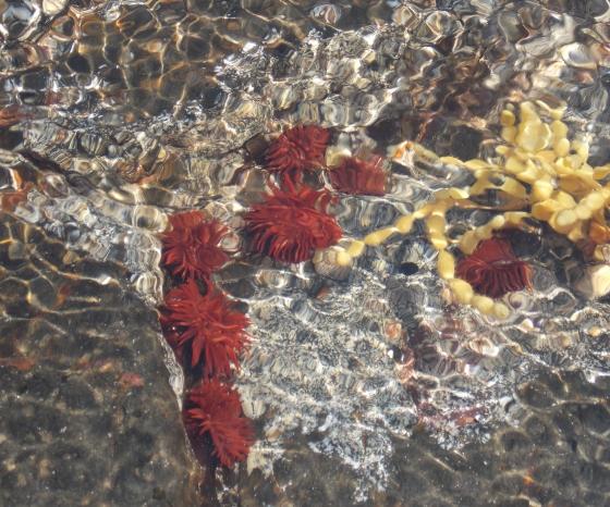 Anemones the size of American quarters/Australian 20-cent pieces. Mushroom Reef at West Head Beach, Mornington Peninsula, Victoria. Australia.